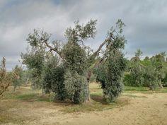 Olio extravergine campagna 2017/2018 una maestosa pianta secolare di Leccino