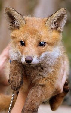 Hmm I would love a pet fox, can we do that in Australia, were they are considered a pest?