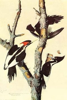 Ivory-Billed Woodpecker . High quality vintage art reproduction by Buyenlarge. One of many rare and wonderful images brought forward in time. I hope they bring you pleasure each and every time you loo