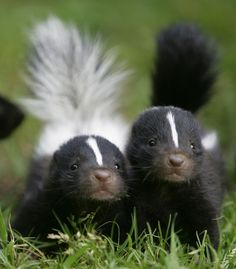Baby Skunks on zooborns! All Gods Creatures, Cute Creatures, Beautiful Creatures, Animals Beautiful, Cute Baby Animals, Animals And Pets, Funny Animals, Funny Dogs, Baby Wild Animals