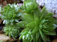 Hens and Chicks plant. Love these!