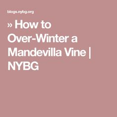 You asked, we answered! How to over-winter your mandevilla vine.