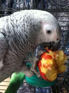 My Grey African eating apple. Yummy....