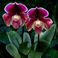 Paphiopedilum Orchilla  --  'Chilton'