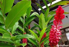 Herbácea rizomatosa, pertence à família Zingiberaceae, nativa das Ilhas dos Mares do Sul, perene, entouceirada, de 1,5 a 2,0 metros de altura, com hastes n
