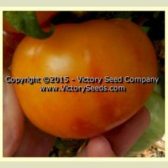 'Dwarf Russian Swirl' tomato — 87 days, determinate tree-type — Rugose, regular leaf, productive plants.  The fruits are smooth, medium sized (four to twelve ounces), oblate-shaped, yellow with red colored swirls, with a well balanced and delicious flavor.