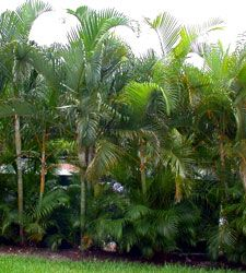 photo of Dypsis lutescens, areca Palm