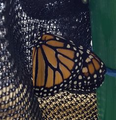 La sorpresa de hoy en la mañana. Ya emergió nuestra primera mariposa.