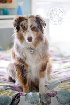 Week 38 :: 52 Weeks of Banjo. THIS ONE IS BEAUTIFUL. I LOOOOOVE THE RED MERLE AUSSIE. I WANT A STANDARD ONE SOOOOOO BAD.