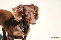 Willow Wisp  #cute #dog #dogofinstagram #dachshund #dachshundsofinstagram #personalphotography #photograpyofinstagram by fiery_taurus