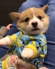 Baby Corgi, Cute Baby Puppies, Super Cute Puppies, Cute Corgi, Chihuahua Puppies, Corgi Dog, Cute Funny Animals, Cute Baby Animals, Cutest Small Dog Breeds