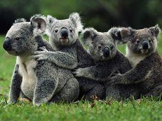 koala conga line! I have 3 kids, I so know how the front koala feels! Animals And Pets, Baby Animals, Funny Animals, Cute Animals, Wild Animals, Nature Animals, Funny Koala, Baby Giraffes, Animal Kingdom