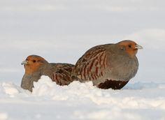 Bird Pictures, Animal Pictures, Grey Partridge, Guinea Fowl, Draw On Photos, Game Birds, Wild Birds, Livestock, Beautiful Birds