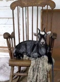 The Goats Feel At Home