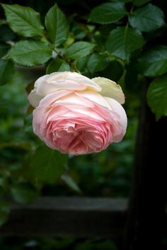 The lovely 'Pierre de Ronsard' rose