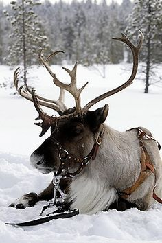 Santa's reindeer taking a break.