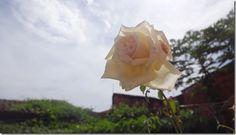 flor-flores-White rose - rosas-imagens260