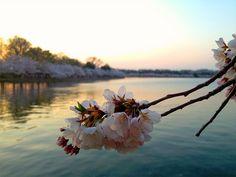 Cherry BlossomsDC87_MQ2013