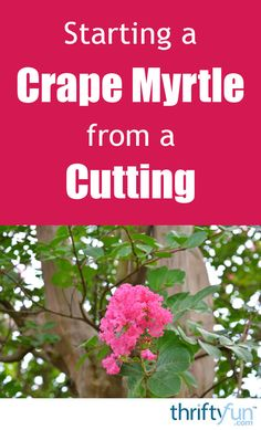 E Myrtles Can Successfully Be Started From Both Hard And Soft Wood Cuttings This Is