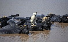 Water Buffalo carrying Dog | 17 Animals Taking Care Of Other Animals