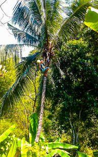 Frische Kokosnüsse pflücken auf Bali