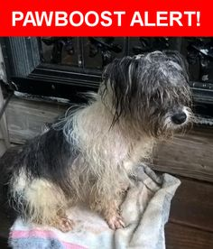 Is this your lost pet? Found in Chattanooga, TN 37404. Please spread the word so we can find the owner!  Very young Havanese/Lhasa Apso looking dog. His tail is broken and semi-healed at a right angle. (Causes him extreme pain when bumped). Small gash in his rear thigh. Hair is extremely matted and either hasn't been maintained or this little guy has been on the lam for a while. Wearing a flea collar. Is not microchipped. No tags. Not neutered. Very sweet, excellent eye contact and recall…