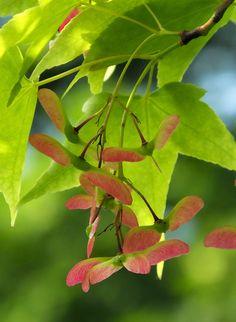#Acer #oliverianum