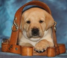 service dogs that so not complete training go up for adoption
