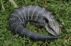 Blue Tongued Lizard ○ Eats snails, caterpillars and insects Cute Reptiles, Reptiles And Amphibians, Mammals, Geckos, Beautiful Creatures, Animals Beautiful, Baby Animals, Cute Animals, Australia Animals