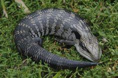 Eastern Blue-tongue Lizard (Tiliqua scincoides)