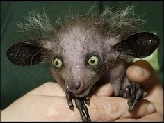 Top 10 Strange and Hideous Creatures  1. Aye-aye - the aye-aye is a lemur from…