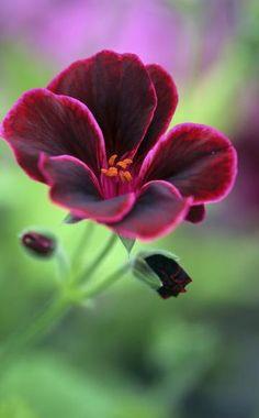 ber ideen zu geranien pflanzen auf pinterest begonien geranien pflege und berwintern. Black Bedroom Furniture Sets. Home Design Ideas