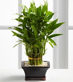 Double Lucky Bamboo. Great gift for Dad!