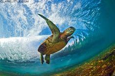 Sea Turtle swimming beneath wave