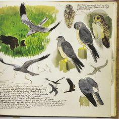 Tunnicliffe, Short-Eared Owl and Montagu's Harrier, Cefni saltmarsh, sketchbook, 1956 by lena Horse Drawings, Bird Drawings, Animal Drawings, Easy Drawings, Wildlife Paintings, Wildlife Art, Nature Artists, Bird Artists, Nature Sketch