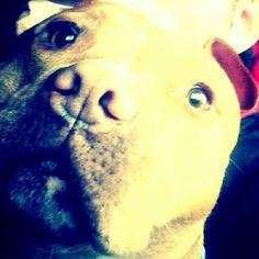 Mr Darcy  #mrdarcy #darcy #staffy #americanstaffy #staffordshirebullterrier #cutedog #handsomedog
