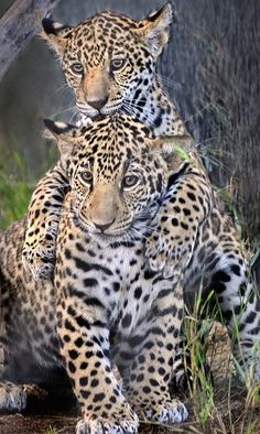Sibling superstars: Four-months-old jaguar cubs Maderas (top) and Tikal enjoy some play time at the San Diego Zoo. Nature Animals, Animals And Pets, Wild Animals, Beautiful Cats, Animals Beautiful, Big Cats, Cats And Kittens, Gato Grande, Ocelot