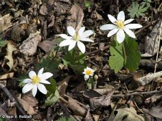 BLOODROOT / Sanguinaria canadensis on Fontenelle Forest Nature Search