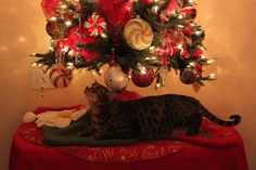 Suki, 2015 almost 6 years old Bengal Cats, 6 Year Old, Animals, Animales, Animaux, Animal, Animais