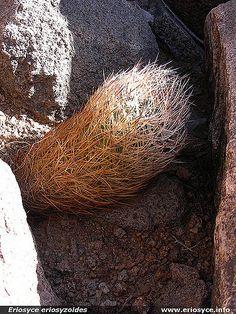 https://flic.kr/p/PcqCE | JA114_Eriosyce eriosyzoides | JA114 Eriosyce eriosyzoides San Felix, este de Vallenar.