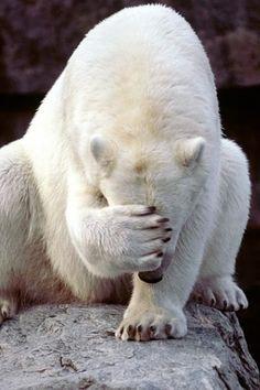 Polar Bear - My favorite animal