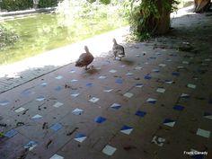 Ducks @ Mª Luisa Park - Patos en Parque Mª Luisa