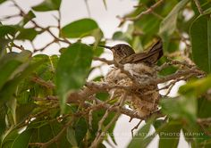 Miniature High-Rise - active hummingbird nest in Loreto during early 2013 Baja trip | Show Me Nature Photography