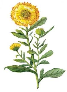 Herb Profile: Calendula - Pretty Powerful | International Integrative Educational Institute