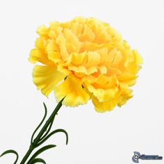 Bicolor yellow carnation from flores funza variety viana yellow carnations download picture download with no limits download without logo mightylinksfo
