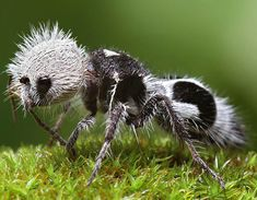 The panda ant, actually a wingless wasp, is known for it's painful sting despite it's cute appearance Ants, Insects, Bee, Ant Insect, Ant, Bees, Bugs