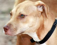 Lyla is an adoptable Pit Bull Terrier Dog in Austin, TX. Introducing Lyla the sweetest baby pit bull ever to grace the planet! This precious baby was saved by a Good Samaritan from a busy intersection...