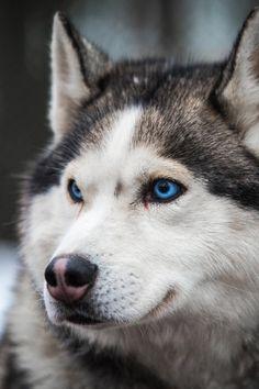 Huskies ~ By Olga Poluektova