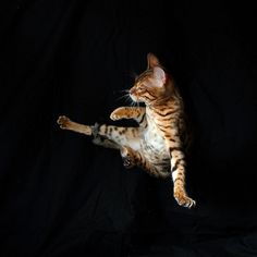 bengal cat #ninja