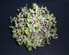 carpinus coreana 3 vista cenital